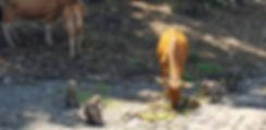Обезьяны обедают рядом с коровами. Бали