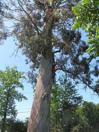 Дерево в Чакви