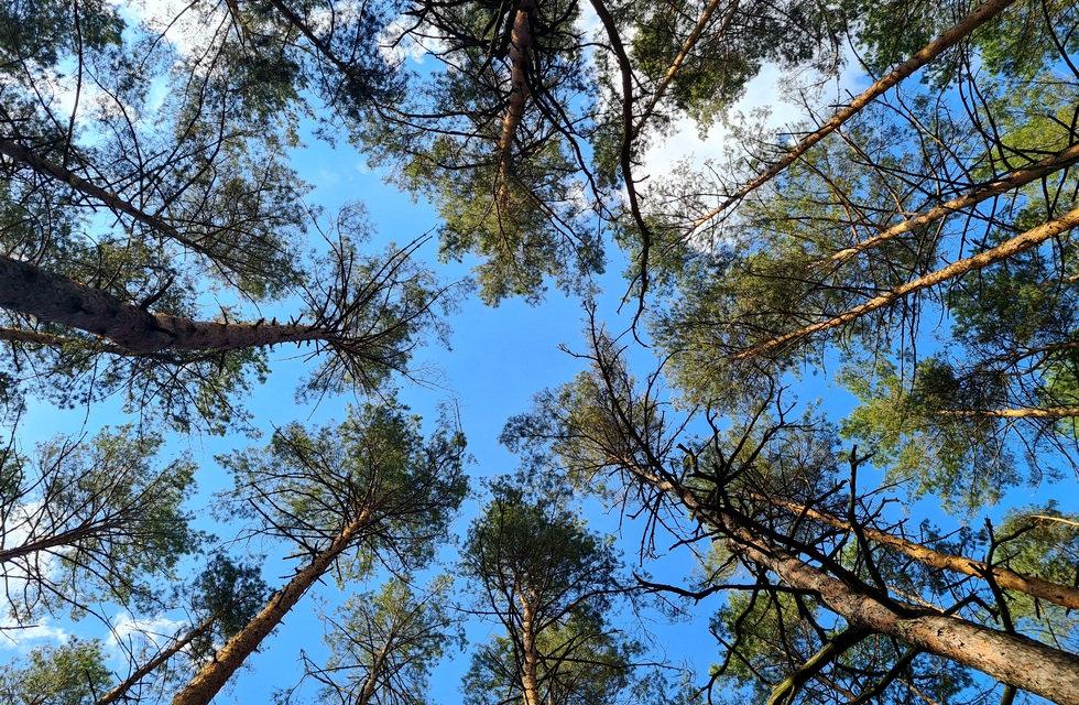 Сосновый лес на базе Экополис