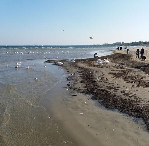 Туристы кормят лебедей
