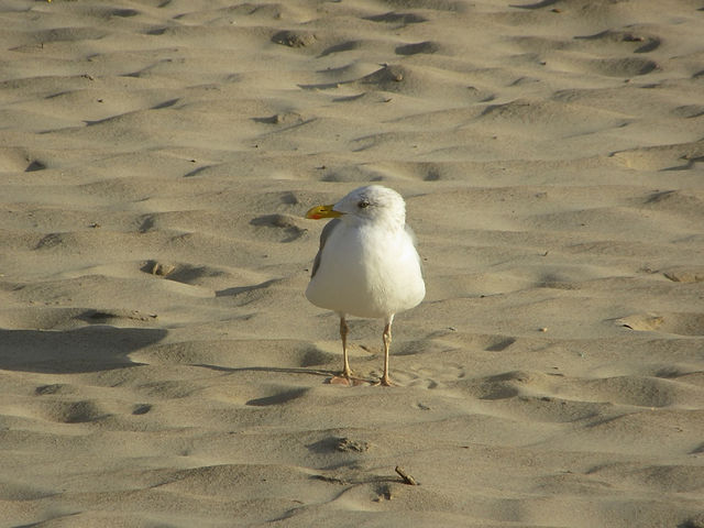 Чайка на пляже Паланги