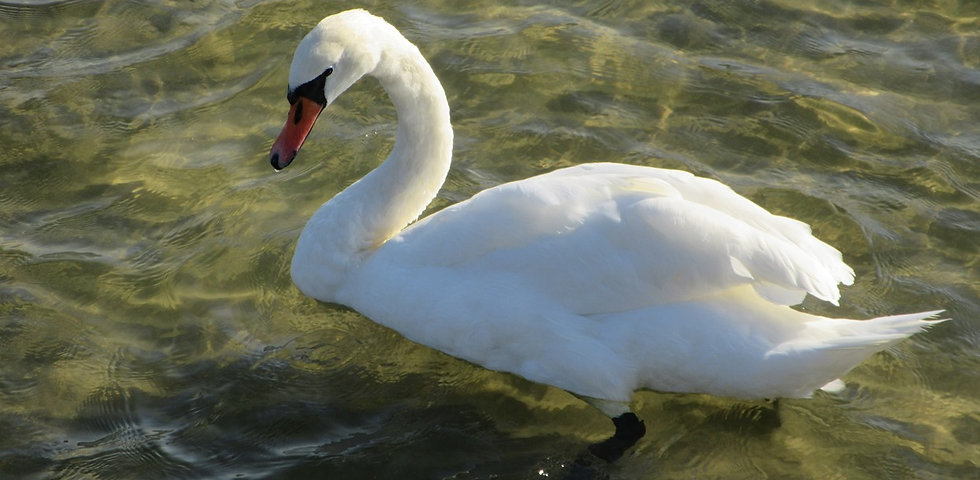 Лебедь в Сопоте