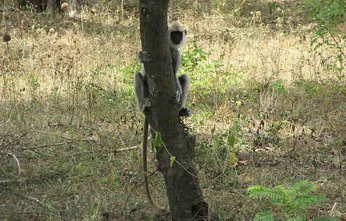 Обезьяна прячется за деревом
