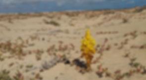 Желтые цветы в Кабо-Верде