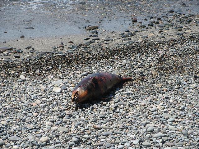 Мертвый дельфин на пляже