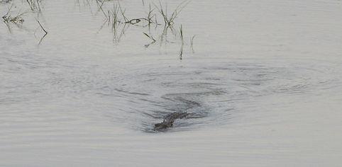 Крокодил плывет в нашу сторону