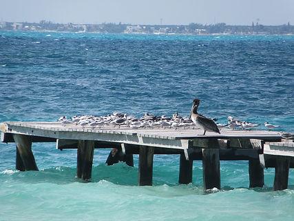Пеликан и чайки