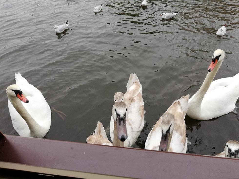 Лебеди возле нашей каюты