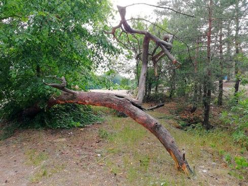 Коряги соснового леса