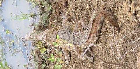 Огромный крокодил отдыхает