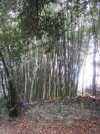Варенна, бамбуковая роща