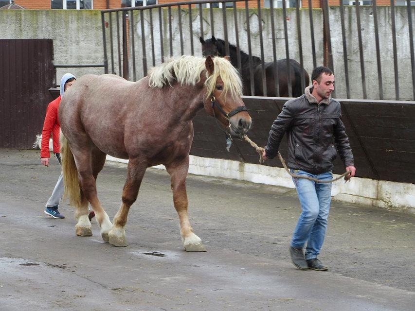 Мощный конь-тяжеловес
