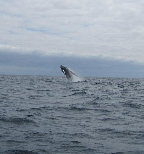 Еще один кит прыгнул высоко