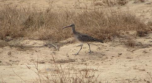 Серые птицы в Кабо-Верде