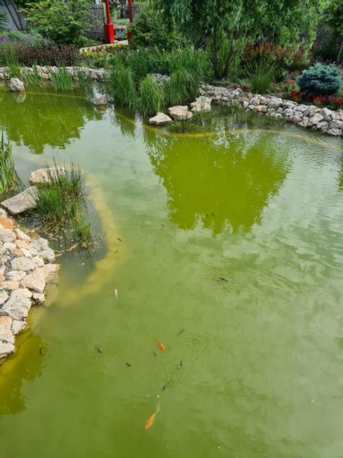 Золотые рыбки в парке Камелия