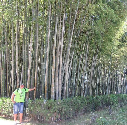 Бамбуковая аллея в Батуми