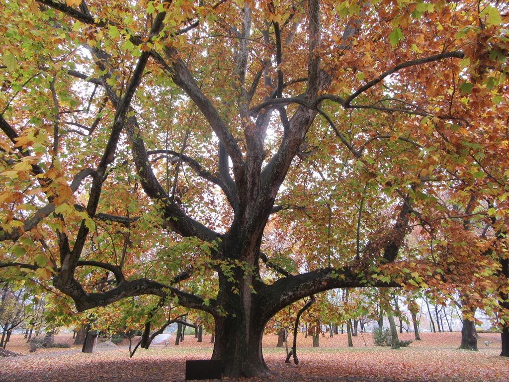 Огромное дерево на острове Маргит
