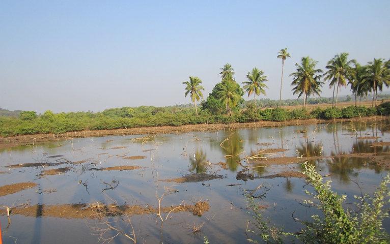Болота в окрестностях Калангута