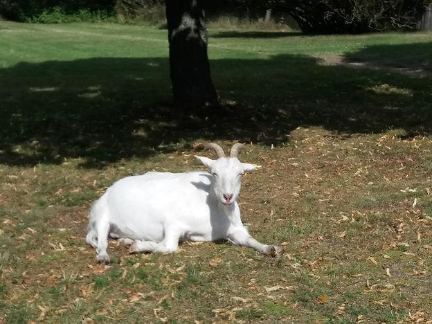 Литовская коза