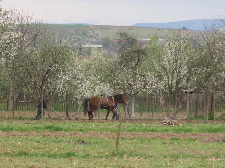 Пашут огород с помошью лошади