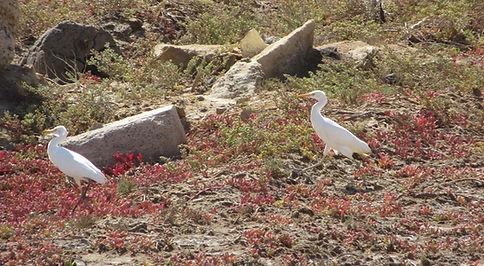 Белые птицы в Кабо-Верде