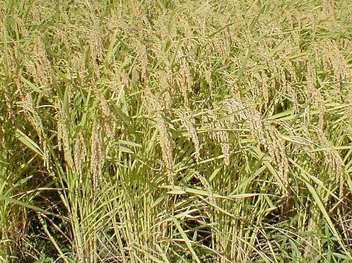 ド根性米 ぜったに倒れない天のつぶ 新米(玄米10k)