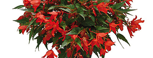 Begonia summerwing red