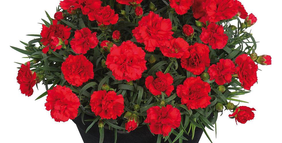 Dianthus oscar red
