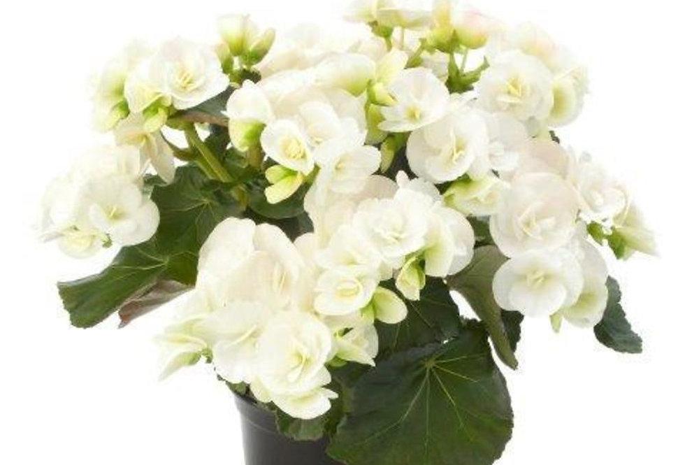 Begonia sun blanc