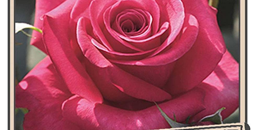 Décorosiers voluptia crazy pink