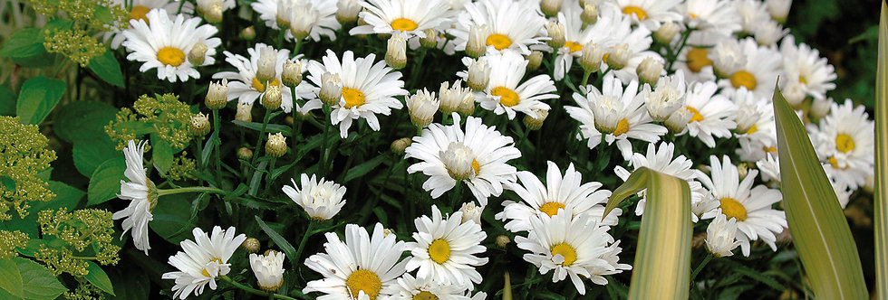 MARGUERITE Daisy may