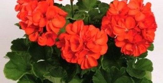 Géranium zonal orange
