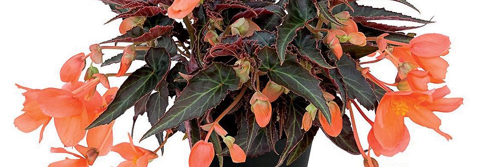 Begonia summerwing orange