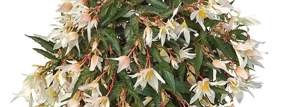 Bégonia summerwing blanc