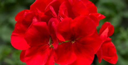 Géranium zonal bright red