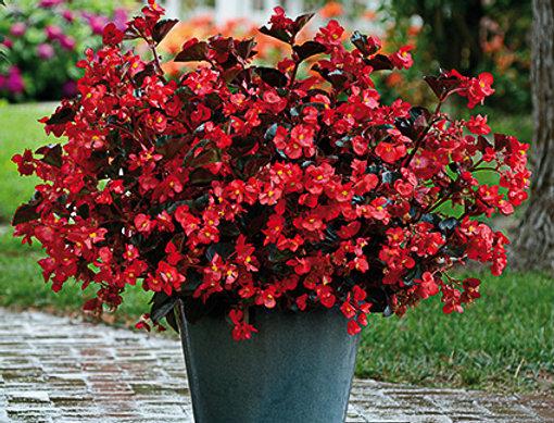 Begonia mégawatt rouge