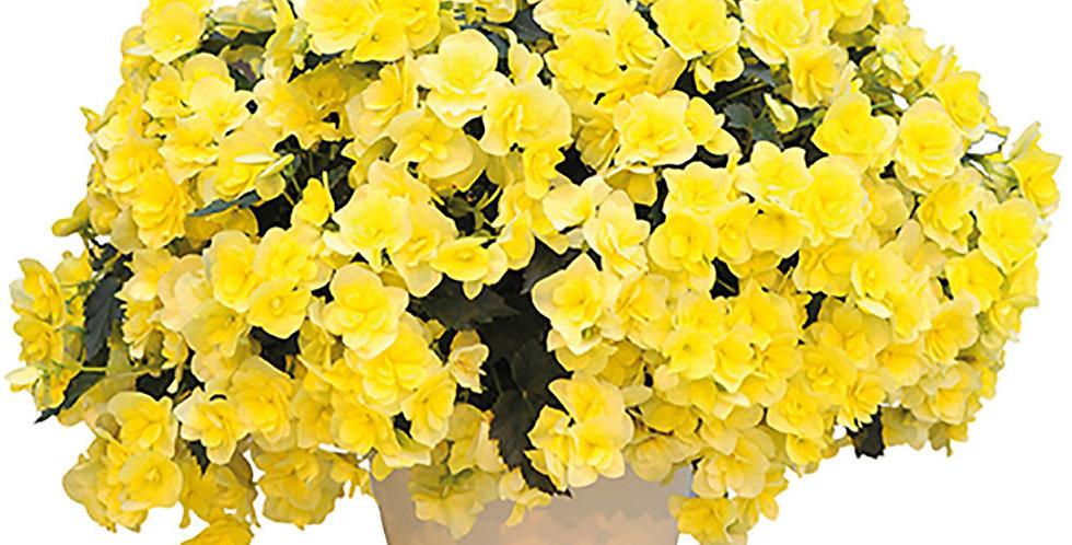 Begonia sun jaune