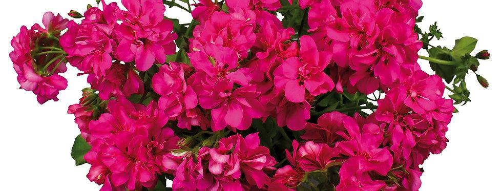 Géranium lierre double hot pink