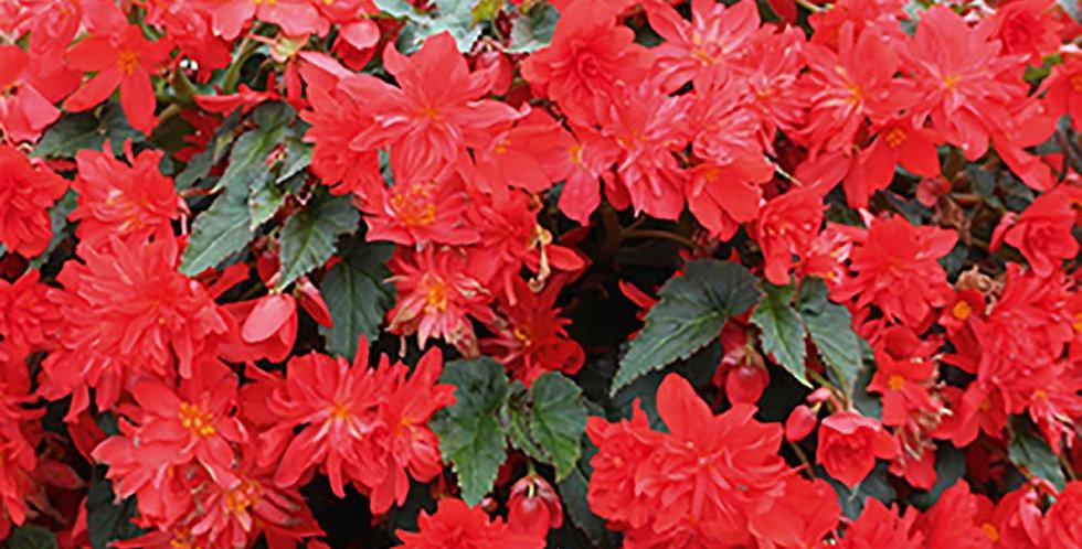 Begonia bellavista rouge