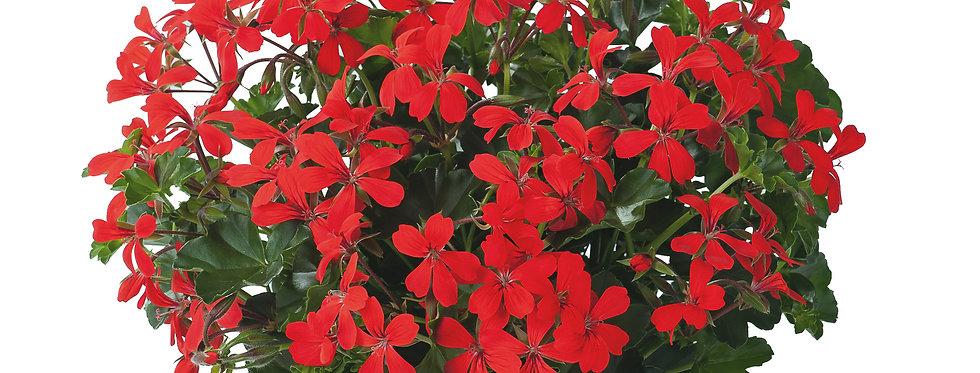 Géranium balcon rouge