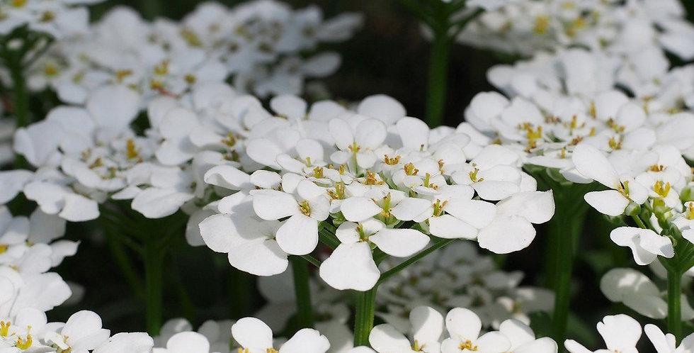 IBERIS blanche