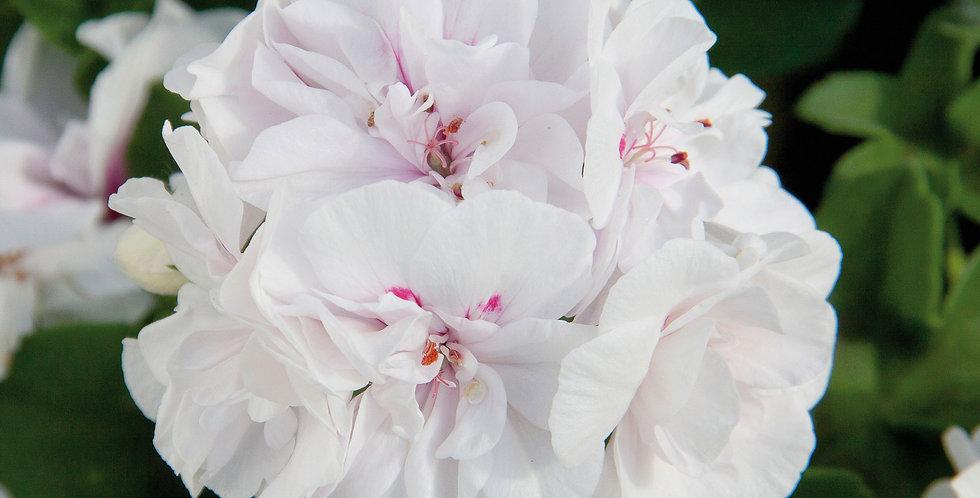 Géranium lierre double white