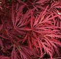 acer-palmatum-dissectum-red-dragon.jpg