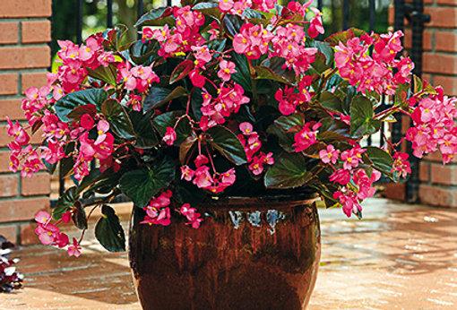 Begonia mégawatt rose