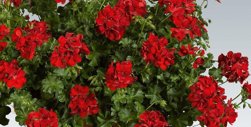 Géranium lierre double ruby