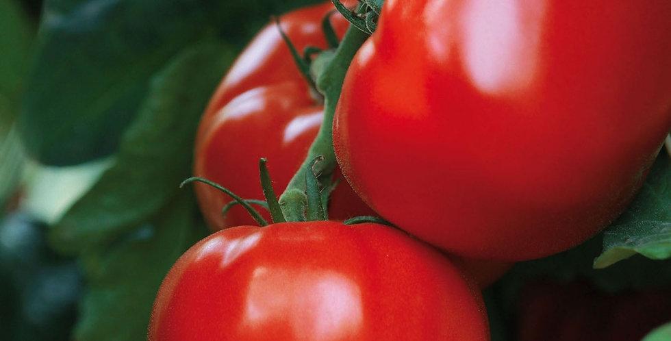 Tomate maestria greffée
