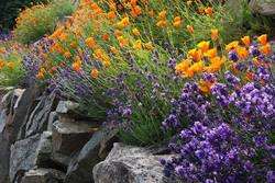 culture-lavande-jardin-rocaille-pavots-C