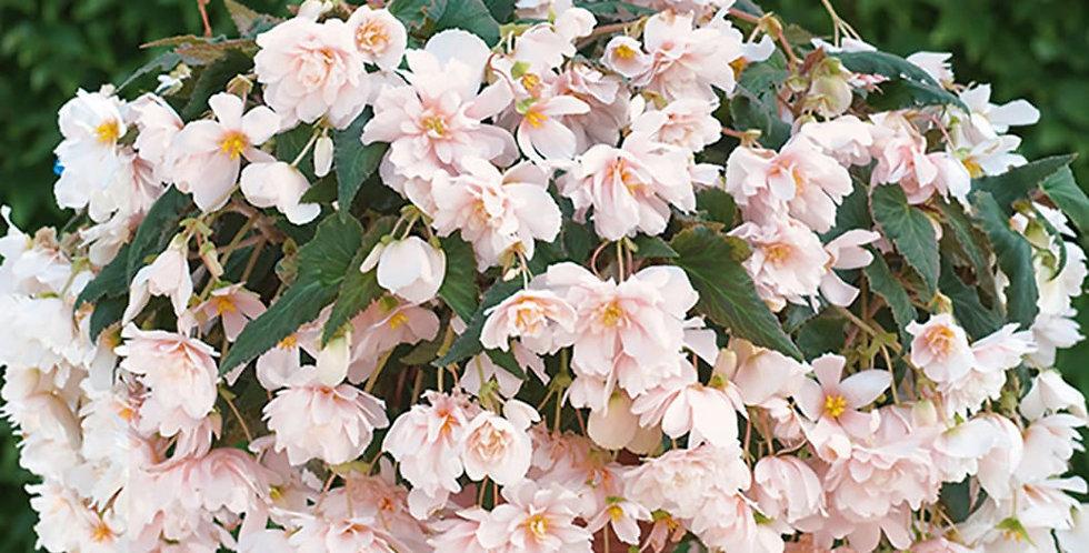 Begonia belina abricot