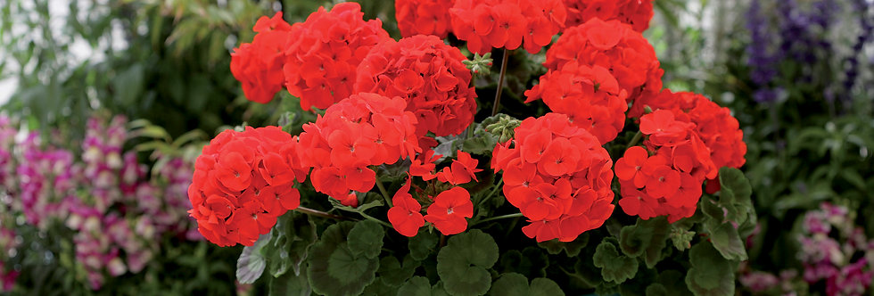 Géranium zonal  red