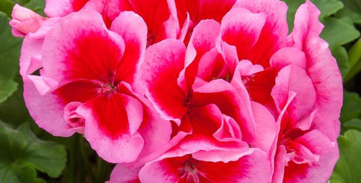 Géranium zonal rose splash